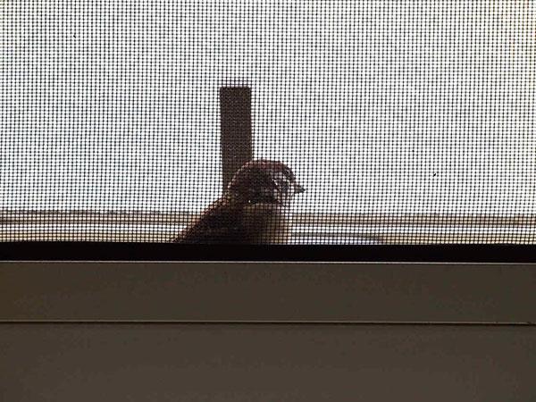スズメが小窓に