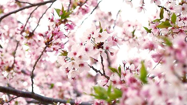桜 写真01