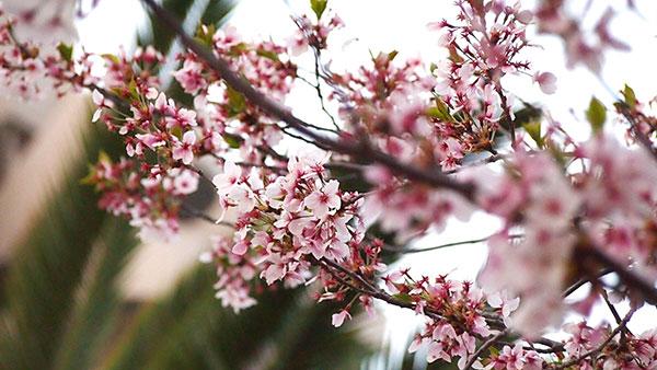 桜 写真02